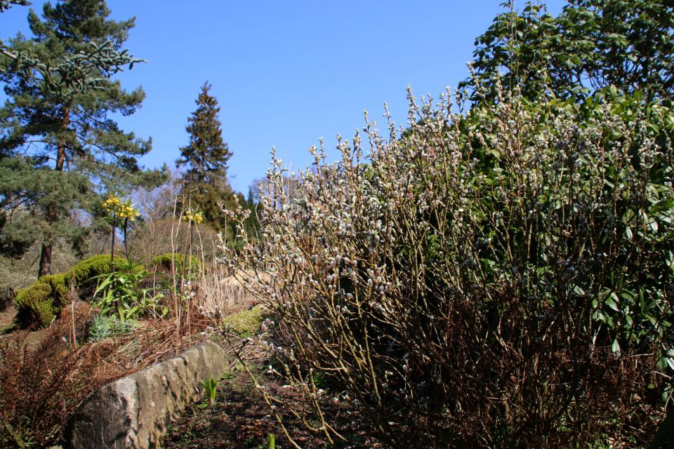 Ива гельветская. Ботанический сад Орхус 18 апреля 2021, Дания