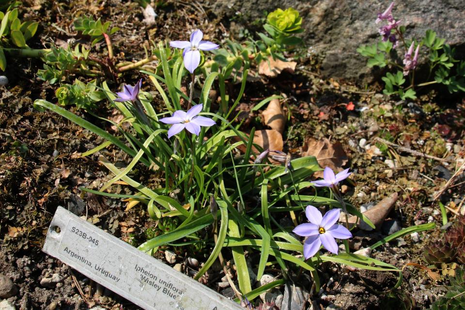 Ифейон одноцветковый. Ботанический сад Орхус 18 апреля 2021, Дания