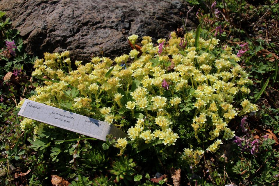 Камнеломка пышная. Ботанический сад Орхус 18 апреля 2021, Дания