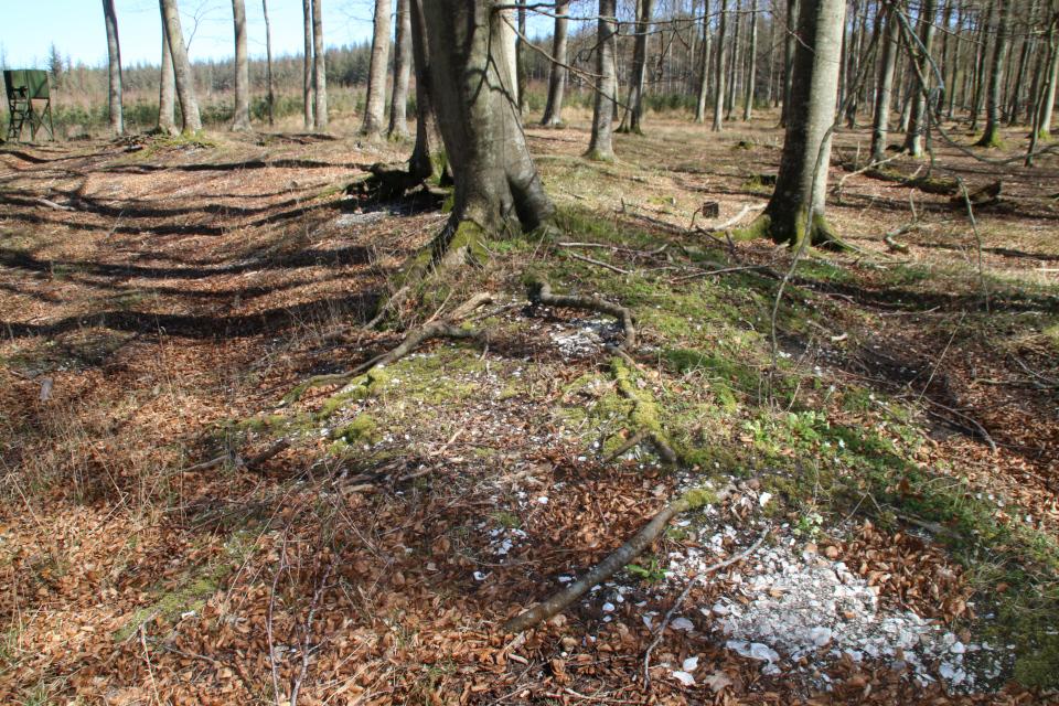 Ракушки на поверхности почвы. Кьёккенмединг в лесу Майлгорд, Дания. Фото 25 мар. 2021