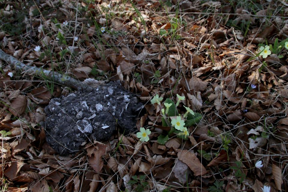 Примула в лесу с кьёккенмединг. Фото 25 мар. 2021, Майлгорд, Дания
