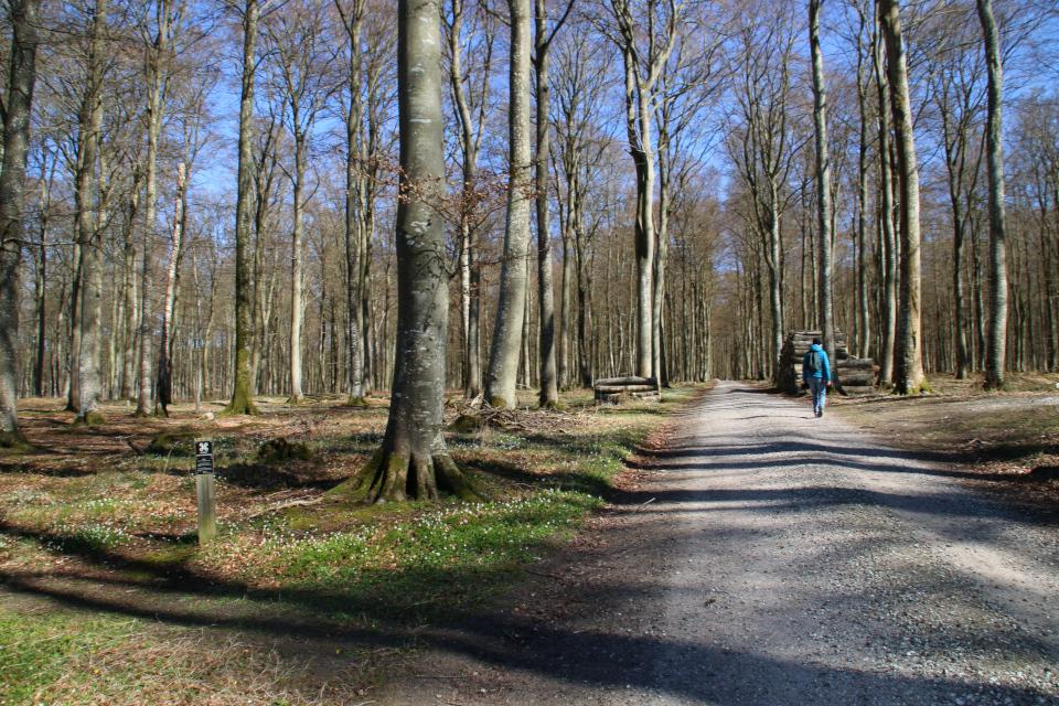 Дорога в буковом лесу Майлгордс кьёккенмединг, Дания. Фото 25 мар. 2021