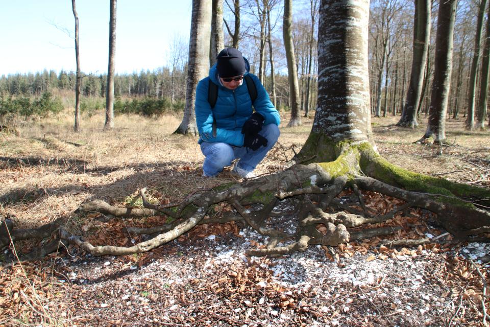 Кьёккенмединг в лесу Майлгорд, Дания. Фото 25 мар. 2021