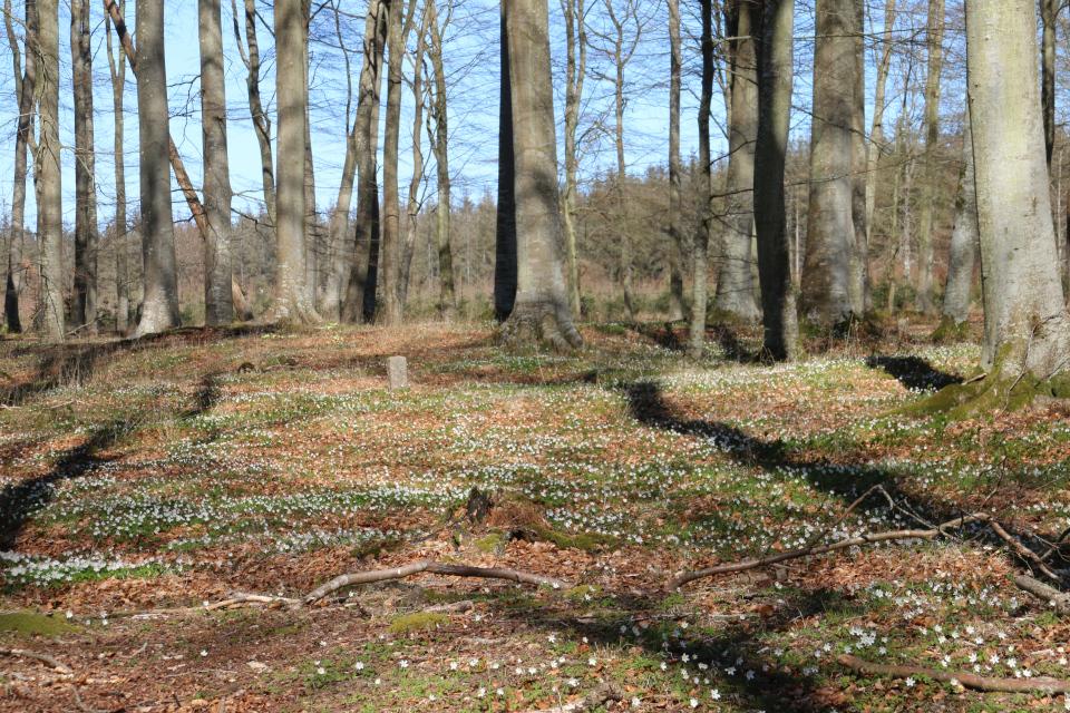 Ветренница дубравная на доисторических кухонных кучах - кьёккенмединг в лесу Майлгорд, Дания. Фото 25 мар. 2021
