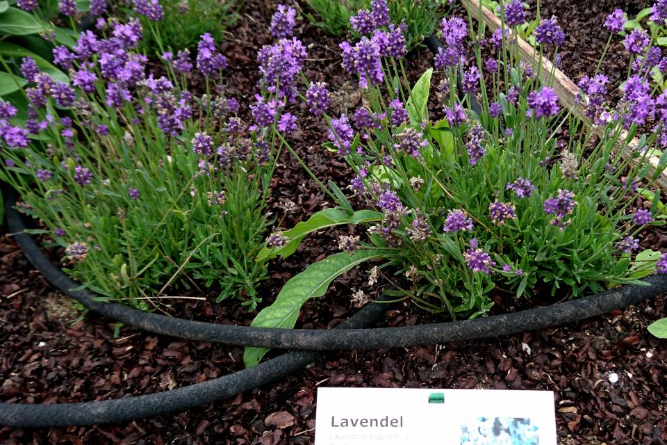 Лаванда - съедобные цветки фермы Тиннетгорд