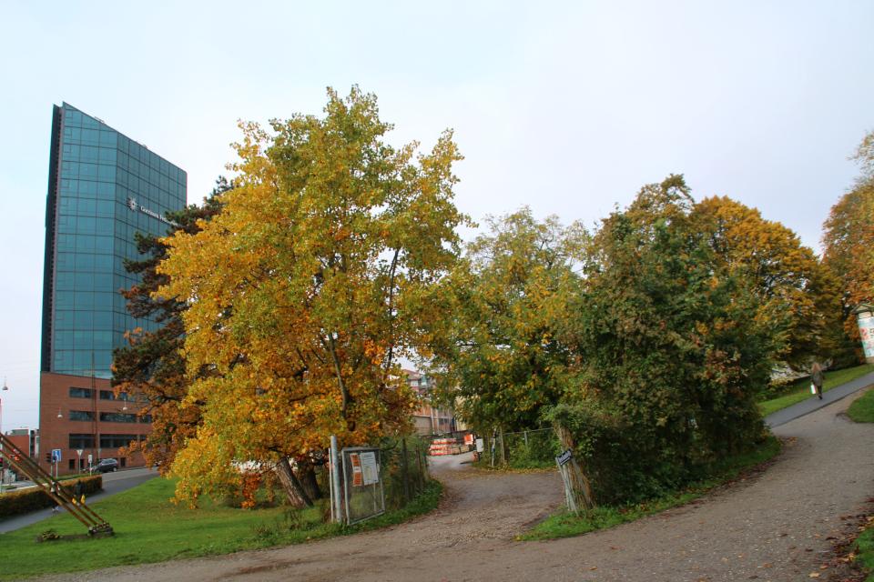 Тюльпановое дерево в осеннем наряде. Фото 22 окт. 2019, г. Орхус, Дания