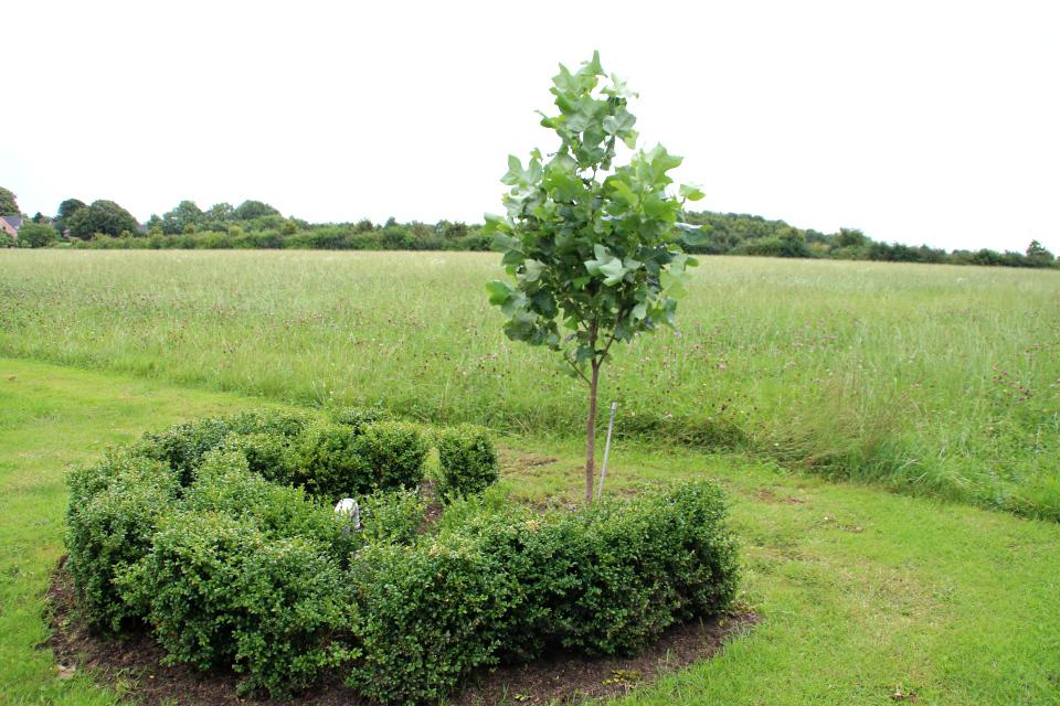 На краю поля с клевером посажено тюльпановое дерево