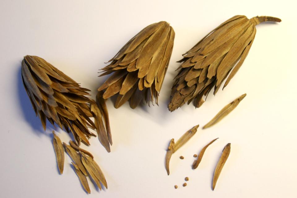 Плоды и семена лириодендрона. Фото 25 нояб. 2018, г. Орхус, Дания