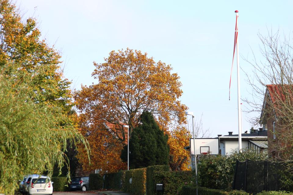 Лириодендрон тюльпановый во дворе моего соседа, Дания