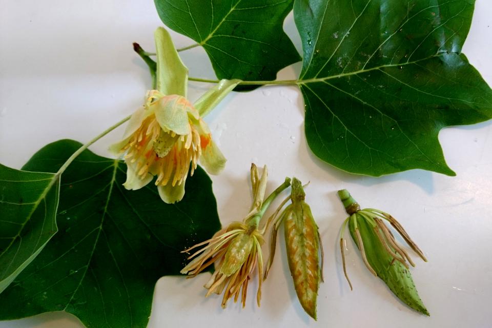 Листья, цветы и незрелые плоды лириодендрона. Фото 22 апр. 2018, Дания