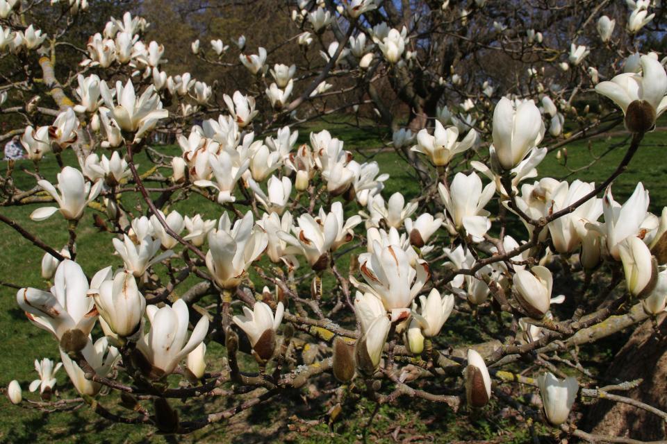 Магнолия голая в цвету в ботаническом саду г. Орхус, Дания