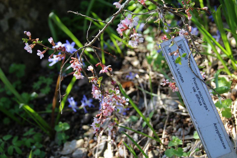 Микровишня в цвету. Ботанический сад Орхус 18 апреля 2021