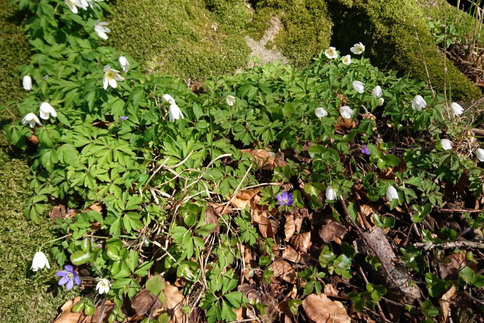 Белые и голубые анемоны в лесу Майлгорд. Фото 25 апр. 2021