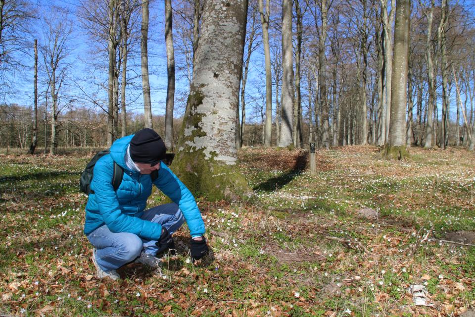 Голубая анемона между белыми в лесу Майлгорд, Глесборг, Дания. Фото 25 апр. 2021