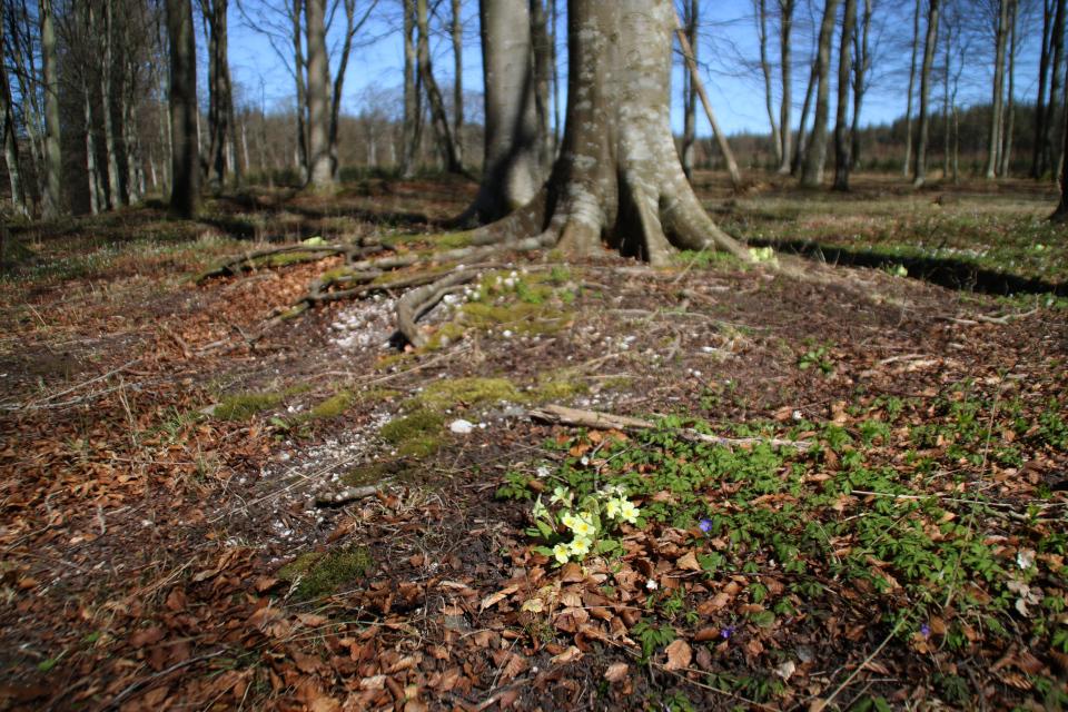 Первоцвет и примула на кьёккенмединг в лесу Майлгорд. Фото 25 апр. 2021