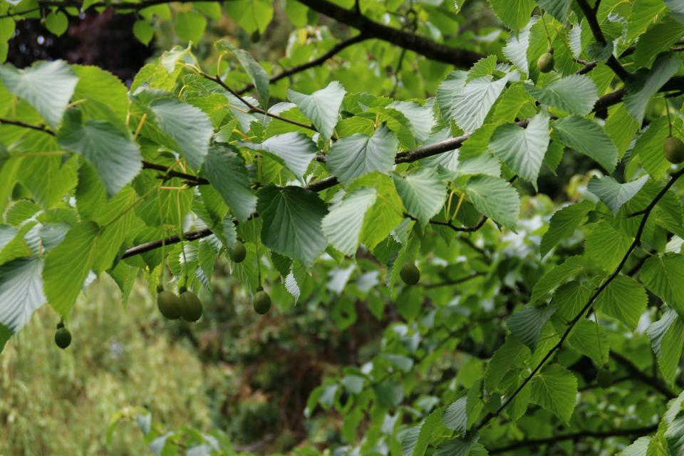 Плоды давидии на дереве
