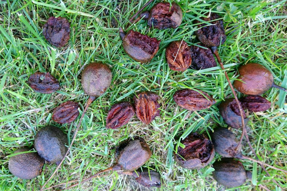 Прошлогодние плоды давидии возле дерева в парке