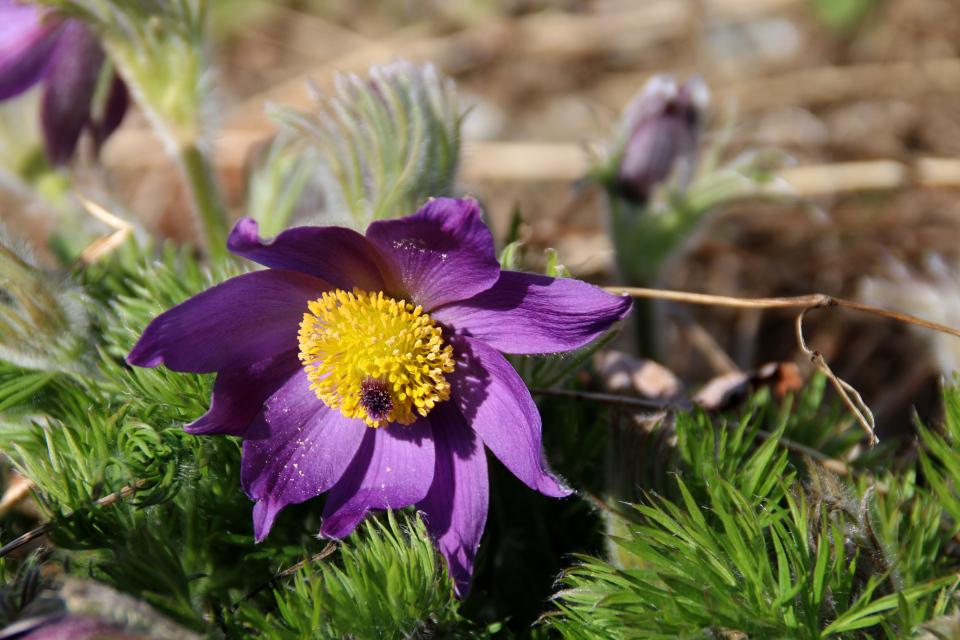 Цветок прострела. Ботанический сад Орхус 18 апреля 2021, Дания