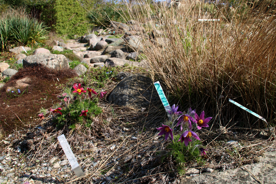 Каменистые горки ботанического сада г. Орхус, Дания. Фото 18 апр. 2021