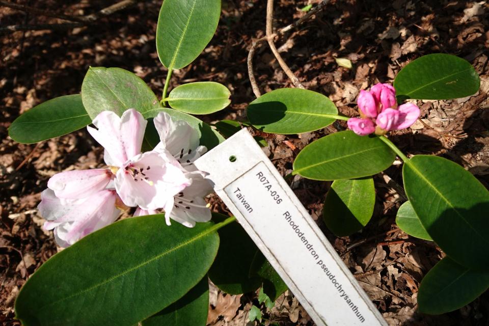 Рододендрон псевдохризантум в цвету в ботаническом саду