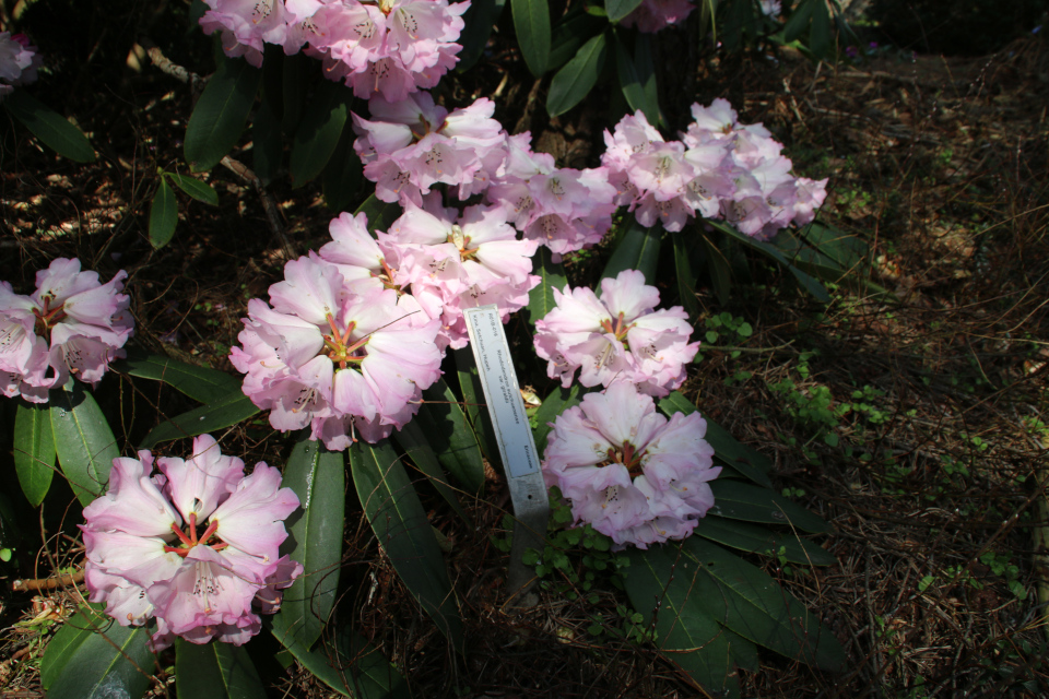 Рододендрон сычуаньский в цвету в ботаническом саду