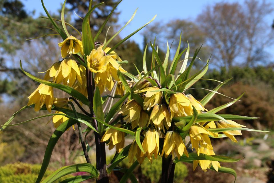 Цветы рябчика императорского. Ботанический сад Орхус