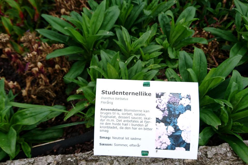 Гвоздика турецкая на грядках съедобных растений