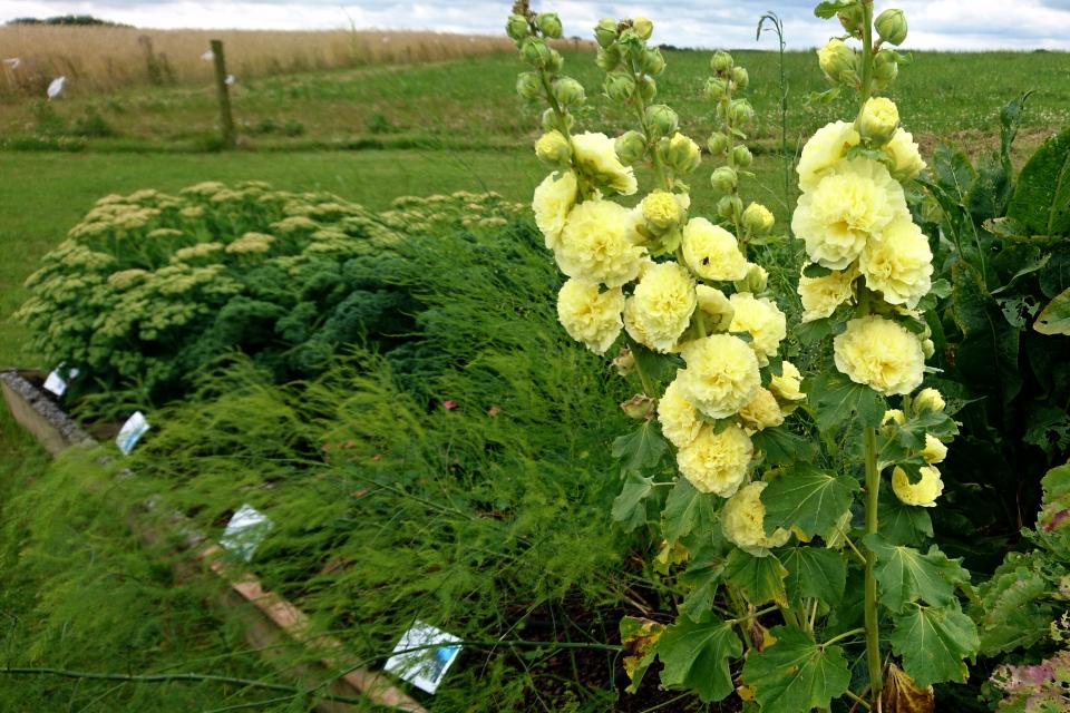 Штокроза и спаржа на грядках съедобных растений
