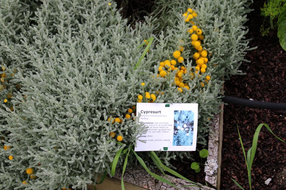 Сантолина - съедобные цветки фермы Тиннетгорд
