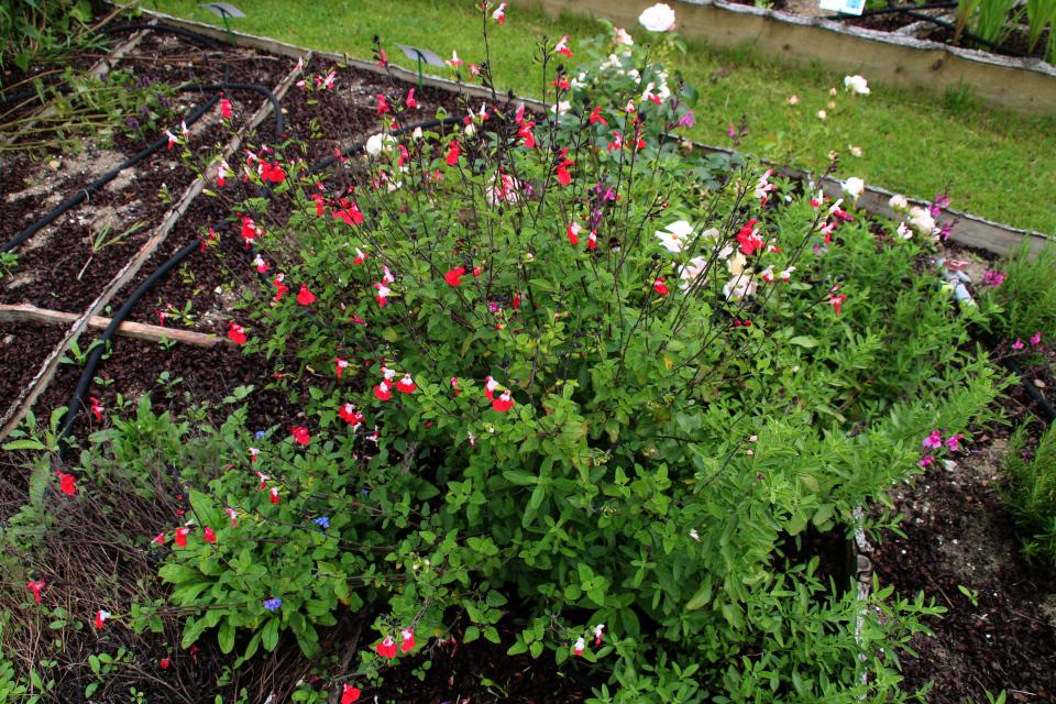 Шалфей черной смородины на грядках съедобных растений