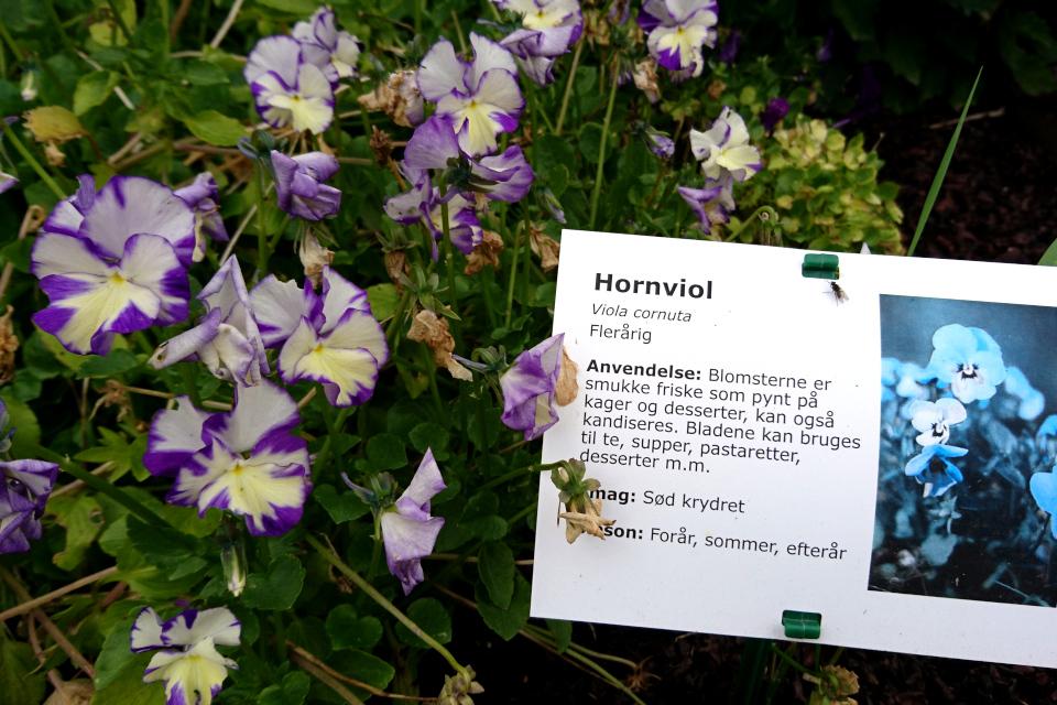 Фиалка рогатая на грядках съедобных растений фермы Тиннетгорд