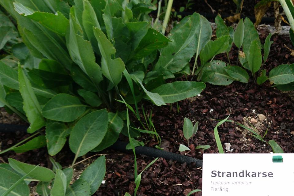 Клоповник широколистный на грядках съедобных растений