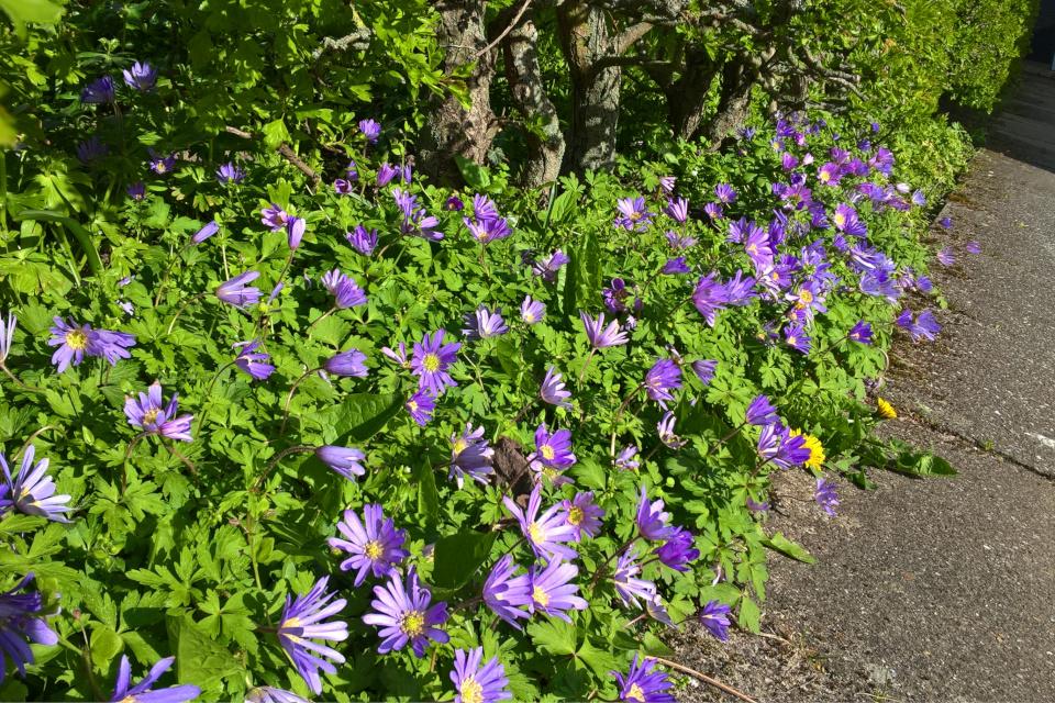 Ветреница нежная в частном саду. Фото 28 апр. 2017, Хойбьерг, Дания
