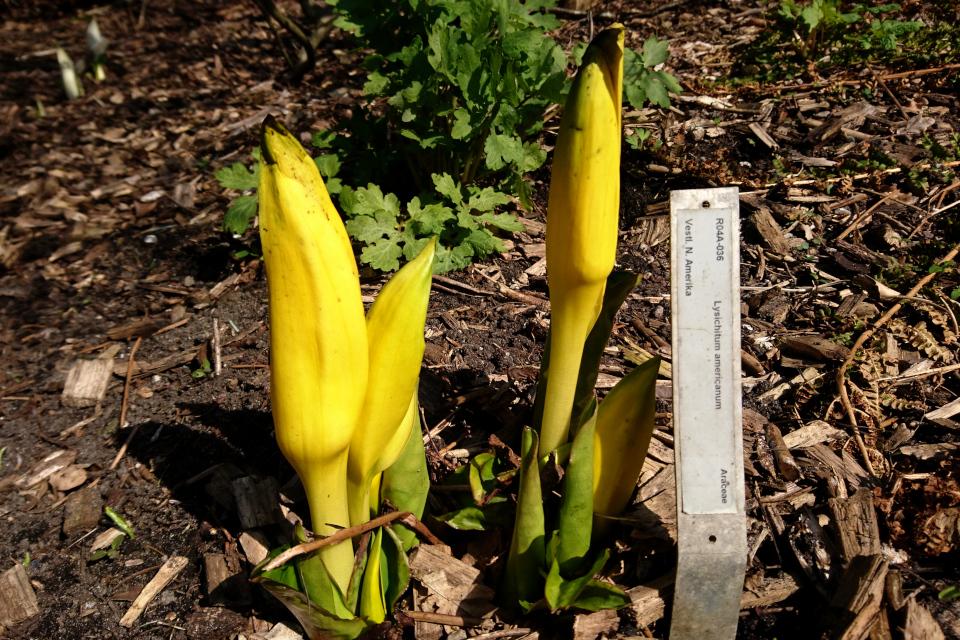 Цветущий лизихитон американский в ботаническом саду г. Орхус, Дания