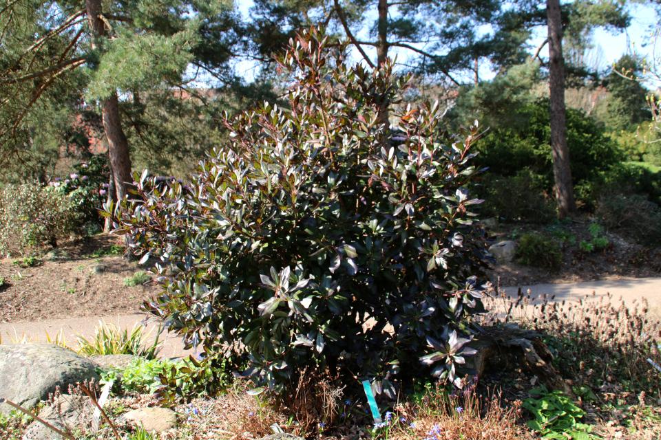 Земляничное дерево. Ботанический сад Орхус 18 апреля 2021
