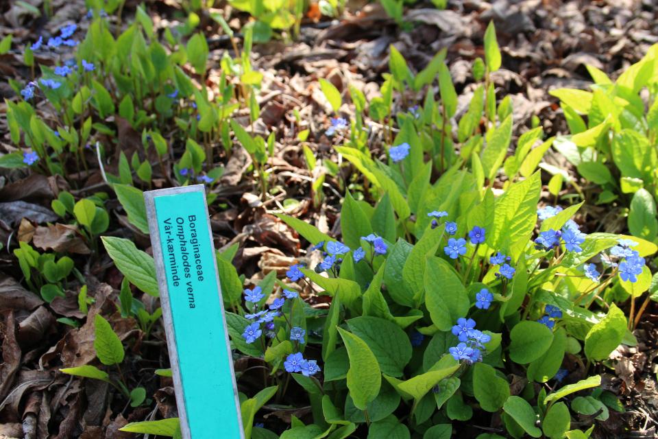 Пупочник. Ботанический сад Орхус 18 апреля 2021, Дания