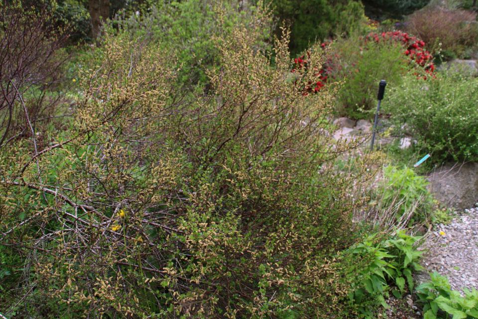 Берёза карликовая. Ботанический сад Орхус 18 мая 2021, Дания