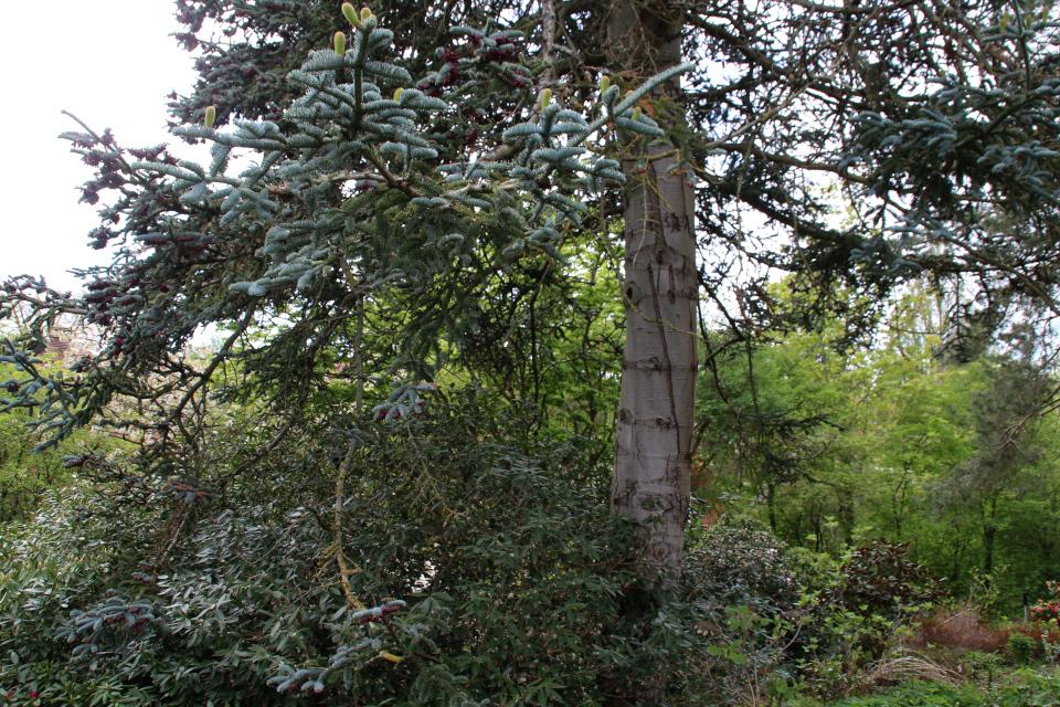Пихта благородная в ботаническом саду г. Орхус, Дания. Фото 18 мая 2021