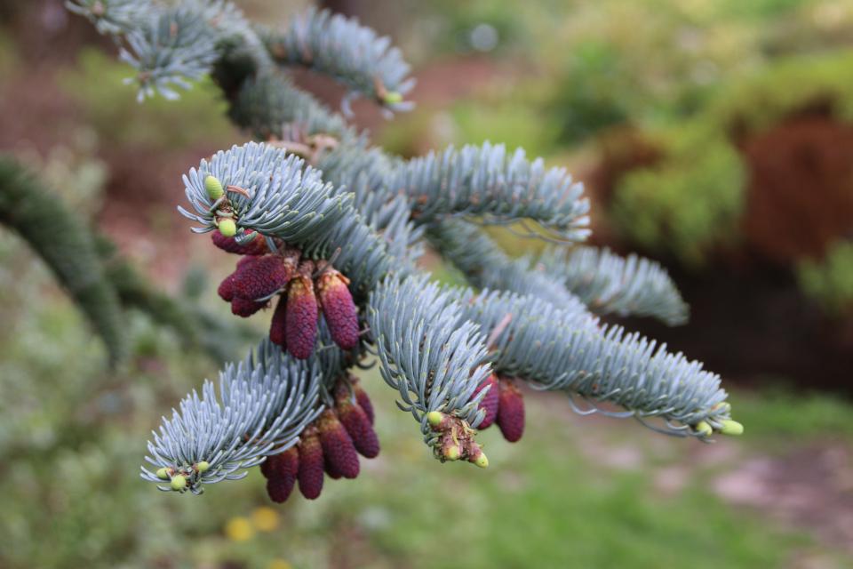 """Пихта благородная в """"цвету"""". Ботанический сад Орхус 18 мая 2021, Дания"""