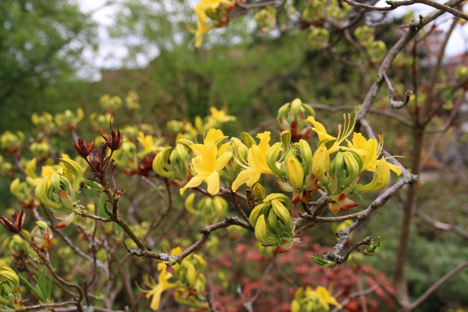Цветы желтого рододендрона. Ботанический сад Орхус 18 мая 2021, Дания