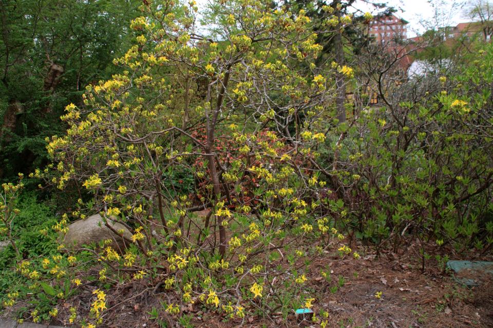 Рододендрон жёлтый в ботаническом саду г. Орхус, Дания. Фото 18 мая 2021