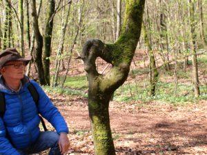 Бук с кольцом в лесу Скивхольме