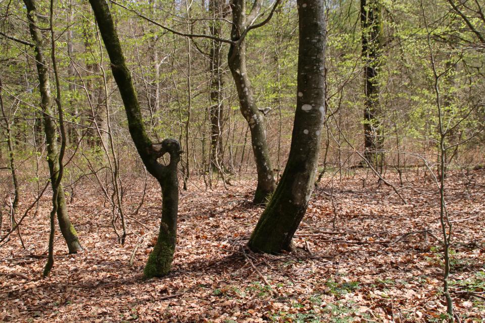 9 мая 2021, лес Скивхольме (Skivholme Præsteskov), Дания