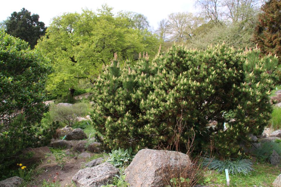 Горная сосна в ботаническом саду г. Орхус, Дания. Фото 18 мая 2021