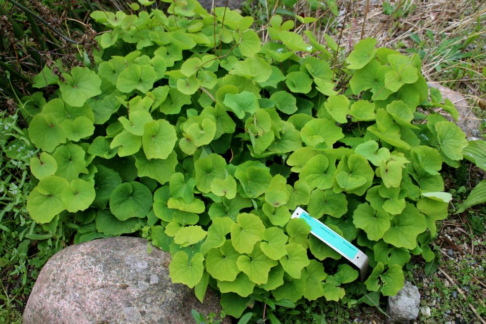 Листья джефферсонии . Ботанический сад Орхус 18 мая 2021, Дания