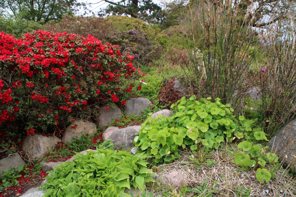 Джефферсония сомнительная в ботаническом саду г. Орхус, Дания. Фото 18 мая 2021