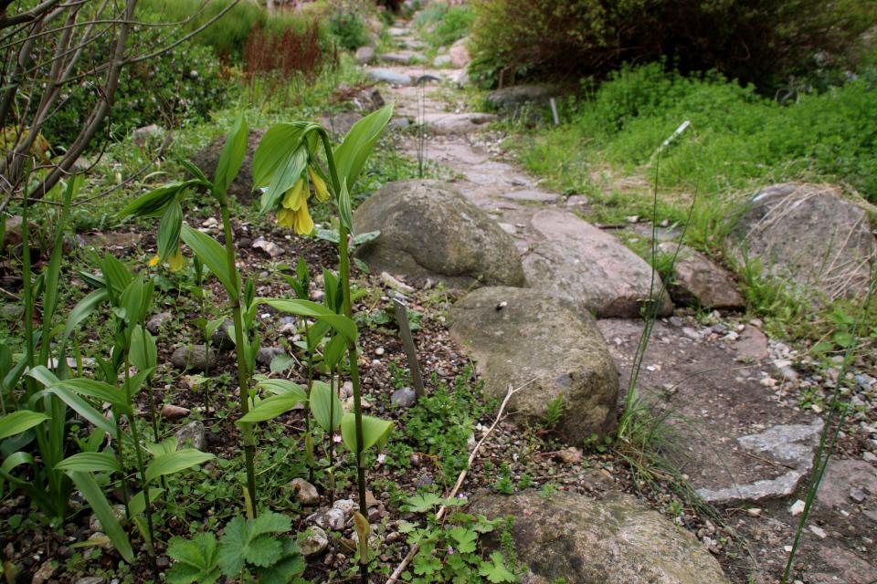 Диспорум желтый. Ботанический сад Орхус 18 мая 2021, Дания
