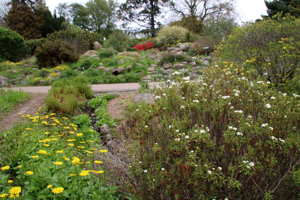 Багульник болотный и дороникум подорожниковый в ботаническом саду г. Орхус, Дания. Фото 18 мая 2021