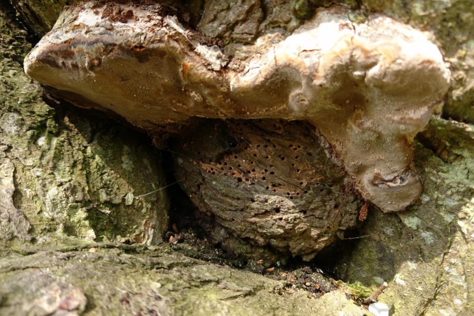 Гнезда насекомых и трутовики на стволе вишни. Скивхольме (Skivholme Præsteskov), Дания. 9 мая 2021