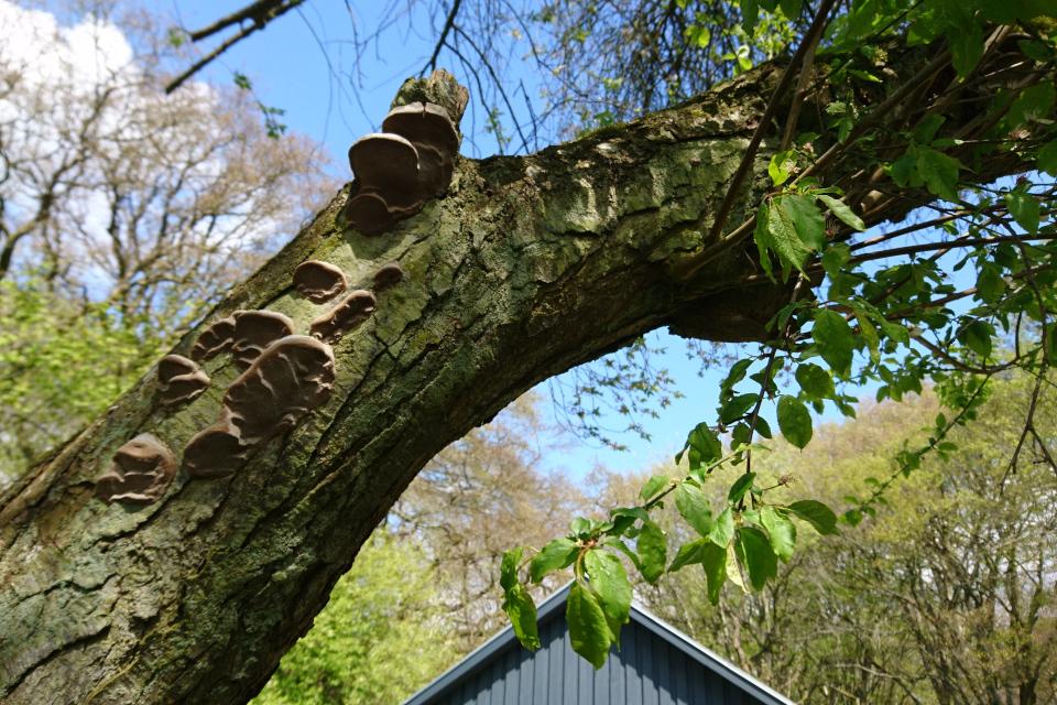 Трутовики на стволе вишни. Скивхольме (Skivholme Præsteskov), Дания. 9 мая 2021